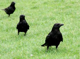 20110511132209-cuervos.jpg