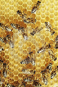 20110608130500-abejas.jpg