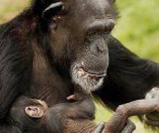20130118115516-chimpance-2.jpg