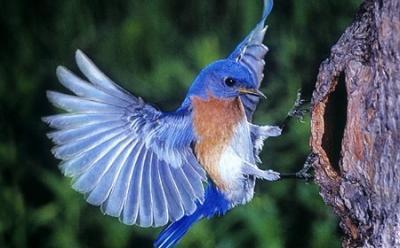 20130522174618-los-azulejos-aves-hermosas.jpg