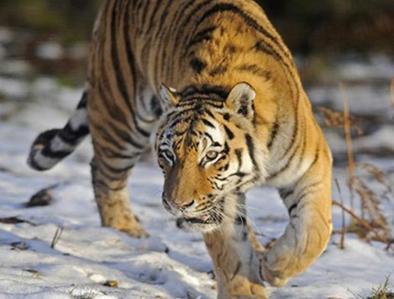 20150203135834-tigre-3.jpg