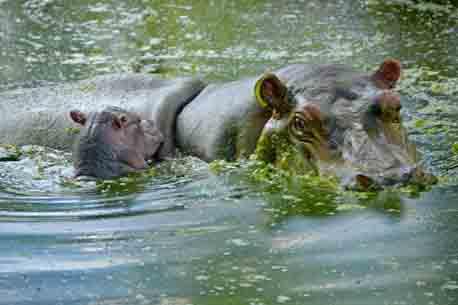 20150811131636-nuevo-hipopotamo-vyg.jpg