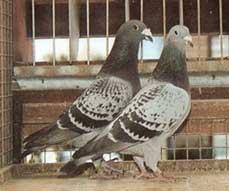 20100922133501-palomas-mensajeras-web.jpg
