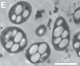 20110919134729-bacterias-arsenico-nasa1.jpg