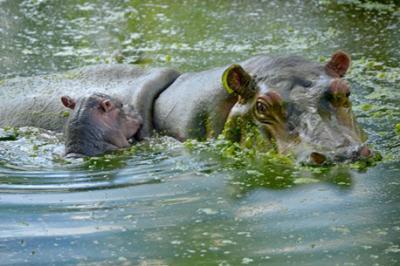 20150117145202-nuevo-hipopotamo-vyg.jpg